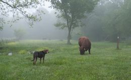 Bull and farm dog in a foggy spring pasture stock photos