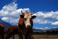 Bull. This farm located in Lijiang, Yunnan, China, with beautiful yulong snow moutain Royalty Free Stock Photos