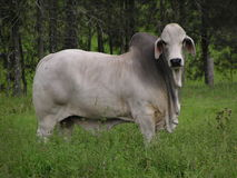 Bull in a Field. A Brahman Bull staring at me - wondering whether he should attack or not Stock Photo