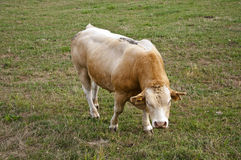 Bull in field Stock Photography