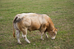 Bull in field Royalty Free Stock Photos