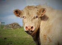 Bull in field Stock Image