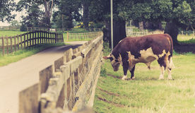 Bull in the field Stock Photography
