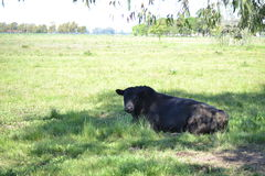 Bull in the field Royalty Free Stock Photography