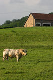 Bull in the fields Stock Photos