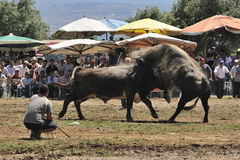 Bull fight stock photography