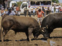 Bull fight. Prepared by the stadium district Sultanhisar 07/06/2009 configured in wrestling, the sunny weather because people were followed up to 4 thousand Stock Photos