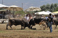 Bull fight. Prepared by the stadium district Sultanhisar 07/06/2009 configured in wrestling, the sunny weather because people were followed up to 4 thousand Stock Photo