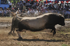 Bull fight. Prepared by the stadium district Sultanhisar 07/06/2009 configured in wrestling, the sunny weather because people were followed up to 4 thousand Stock Image