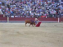 Bull fight Stock Images