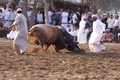 Bull Fight in Fujeirah Stock Photo