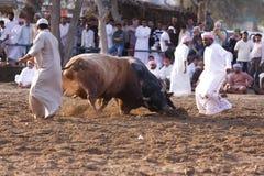Bull Fight in Fujeirah Stock Photo