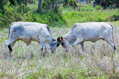 Bull fight. On the ricefield in Thailand stock images