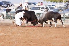 Bull fight Stock Photo