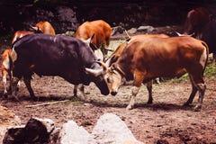 Bull Fight. At zoo negara malaysia stock image