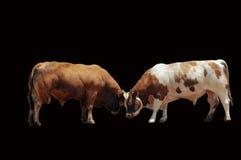 Bull fighting Stock Images