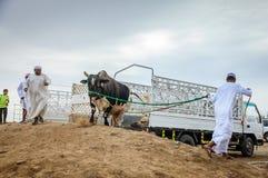 Bull fighting in Fujairah Royalty Free Stock Photos