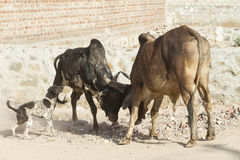 Bull fighting Stock Images