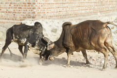Bull fighting Royalty Free Stock Images