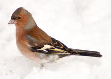 Bull finch. Single bull finch bird in the snow royalty free stock image