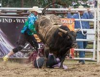 Bull fou Photo libre de droits