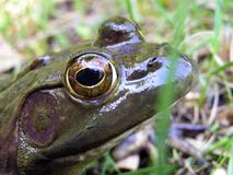 Bull Frog Stock Photography