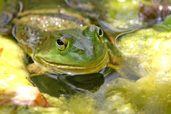 Free Bull Frog Stock Photography - 3740002