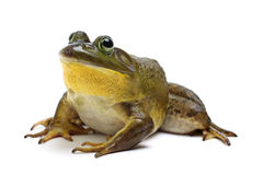 Free Bull Frog Stock Images - 43033604