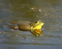 Bull Frog. Floating in a marsh stock photo