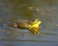 Bull Frog. Floating in a marsh Stock Photo