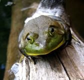 Bull frog. On a log near Wakefield, Quebec, Canada Stock Images