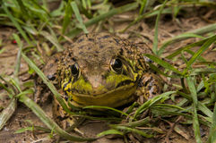 Bull Frog Royalty Free Stock Images