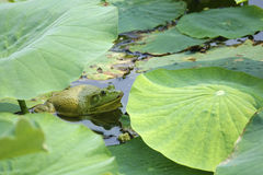 Bull Frog. The close-up of a green Bull Frog in lotus pond. Scientific name stock image