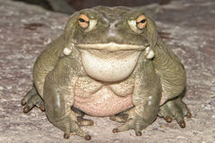Bull frog close up portrait Royalty Free Stock Photo