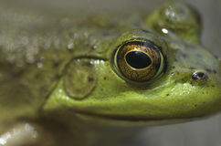 Bull frog eye. Close up of a bull frog's eye Stock Photos