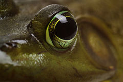 Bull Frog eye Stock Photography