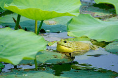 Bull Frog. The green Bull Frog is bulging cheek and chirping in lotus pond. Scientific name:Lithobates catesbeiana stock photo
