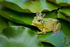 Bull Frog, Green, Pond, Lily Pad Royalty Free Stock Photography