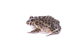 Bull frog Stock Images