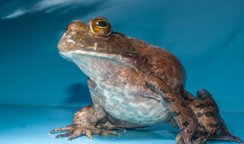 Bull Frog Royalty Free Stock Photos
