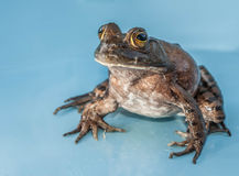 Bull Frog royalty free stock photography