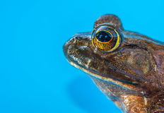 Bull Frog Royalty Free Stock Image