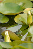 Bull Frog on Lilly Pad. In a fish pond in Maryland Stock Images