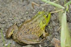 Free Bull Frog Mud Stock Image - 58522731