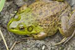 Bull Frog Mud Stock Images