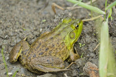 Bull Frog Mud Stock Image