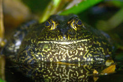 Bull Frog in a Pond Royalty Free Stock Photography