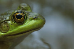 Bull frog profile Royalty Free Stock Photography