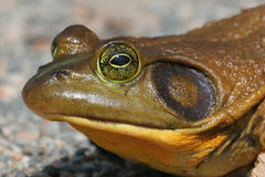Bull Frog (Rana catesbeiana) Royalty Free Stock Photos