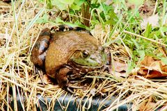 Bull Frog. Soaking up some sun Royalty Free Stock Photos